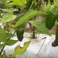 プチピーマンアップルレッドの収穫