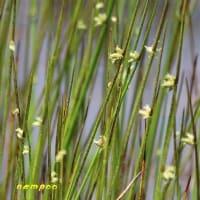 樫原湿原と周辺の植物(3)