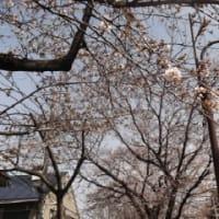 二分咲の東京の桜