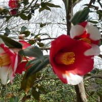 今年もカタクリの花を見てきました