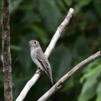 コサメビタキ 幼鳥