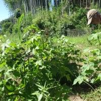 台風の襲来に備え、和綿畑の除草と背を短く剪定