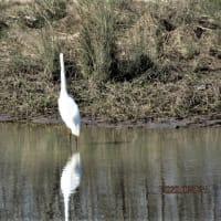木曽川に飛来している白鳥たち