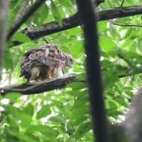 巣からあまり離れないで動く、オオタカの幼鳥。