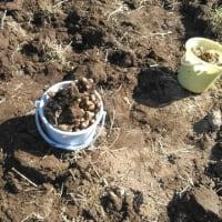菊芋の収穫のお知らせ