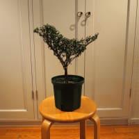 「植木のトピアリーを知ろう・作ろう!」4月に開講!!