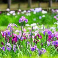 晴れの日の花しょうぶ 〜 薬師池公園にて 〜