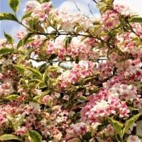 変わる食品表示ルール、来春完全移行/効果ない「機能性食品」も 薬剤師会の試験で判明/白から濃ピンクに花色が変わる「斑入りベニウツギ」。