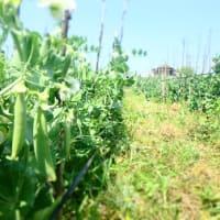 スナック豌豆、スリランカ。