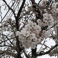 桜咲く・・・