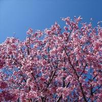 「桜」/青山霊園2020