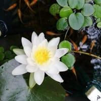 白い睡蓮が咲いた