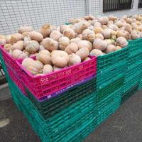 [579]かぼちゃ大量収穫3トン