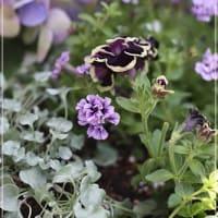 紫陽花の季節♪