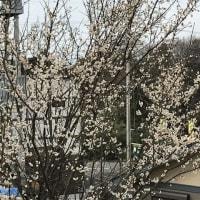 梅の木太い枝を切るなら花が終わった後におこないましょう