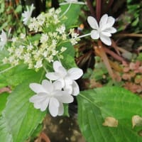 雨の季節はやはり紫陽花ですね!・・・ガクアジサイ カシワバアジサイ アナベル等