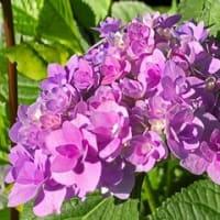 紫陽花(アジサイ)(北九州市小倉北区)