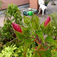 今日はタイタンビカス咲かず