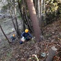 2020/1/19 滝山城跡景観維持・回復活動「お屋敷跡」 出ました!季節限定 畝状の堀