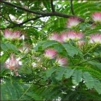 雨宿り★三尺バーベナと合歓の花