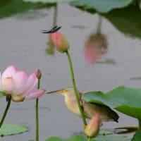 ハスの花のところで、魚を狙うヨシゴイ。