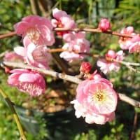 河津桜、紅しだれ梅が咲きました/政府の対策方針 感染の連鎖を防ぐには/新型肺炎の基本方針 「瀬戸際」の危機感見えぬ