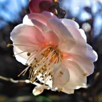2021・1・19 大倉山公園梅林の梅が咲き始めていた