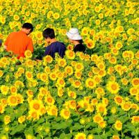 👼🐉ひまわり畑の〖ファミリー〗光景❢❢