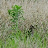 草の繁った休耕田で、タマシギのオスを見た。
