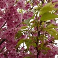 さびしい桜満開