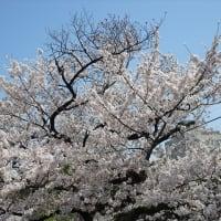 「桜・不忍池」/上野公園