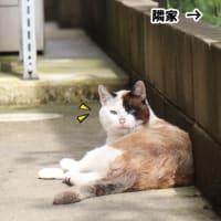 青い目の外猫ちゃん 続報1