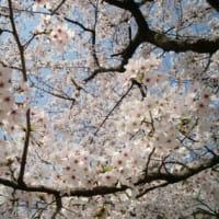 桜に想う~連作