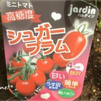 ミニトマトの今 。。。甘さにビックリ!