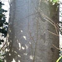 ケヤキ 樹形