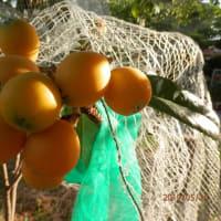 畑の野菜終わりエンドウ・次へビワ・トマト・きゅうり・・・
