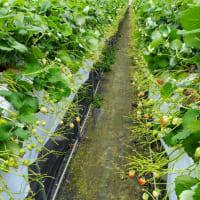 イチゴの多収穫と増収益を目指して❗d(⌒ー⌒)!