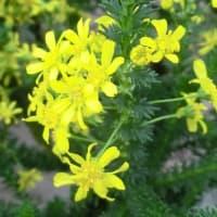 ウインタークラッカーの花は