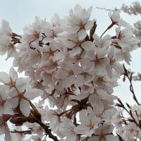 みちのくの春・さくら2019;満開の松が岬公園 in米沢