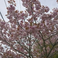 藤の開花状況(2)