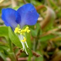 身近な野草小花10月、カタバミ、トキワハゼ、ツタバウンラン、二段咲きツユクサ、他