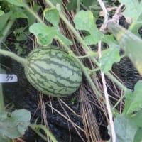 家庭菜園 赤玉葱収穫 小玉西瓜 やられてしまった・・・大玉トマト、サツマイモ、トウモロコシは?