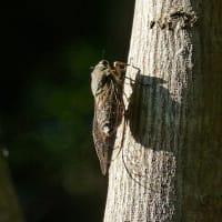 立秋の森でツクツクボウシ鳴く
