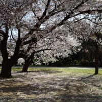 市民の森の桜が満開になりました
