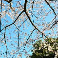 満開! 三川公園の桜 2020/4/5