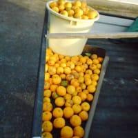 晩秋の収穫・・・柚子・・今年は表年か、豊作!・・・昨年の6倍、約400個収穫!