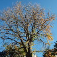 お寺のイチョウの木
