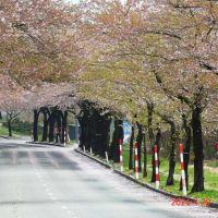 菜の花と山桜を求め