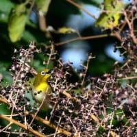 野鳥の好きな木の実 タラノキ