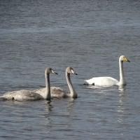 冬の使者、到来! Whooper swans